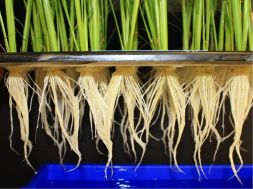 rice roots
